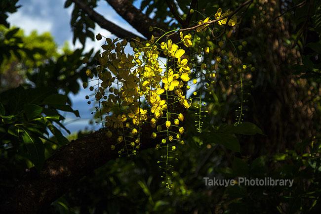 ゴールデンシャワー 沖縄の花