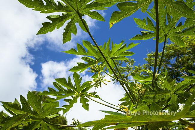 沖縄写真 パパイヤの木