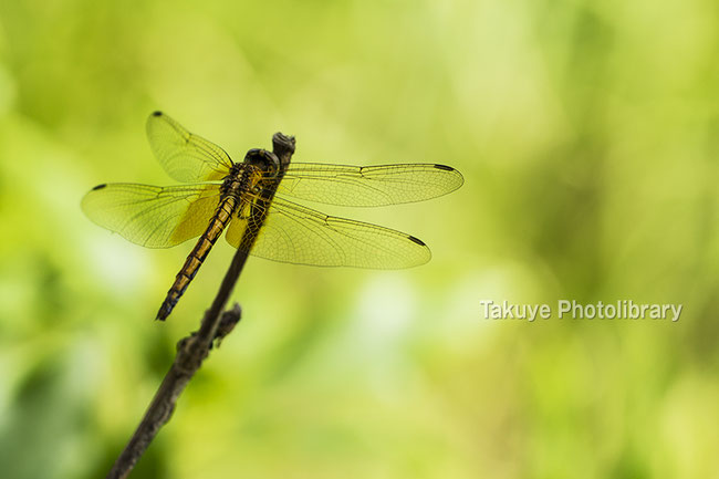 ベニトンボ ♀ 沖縄の昆虫