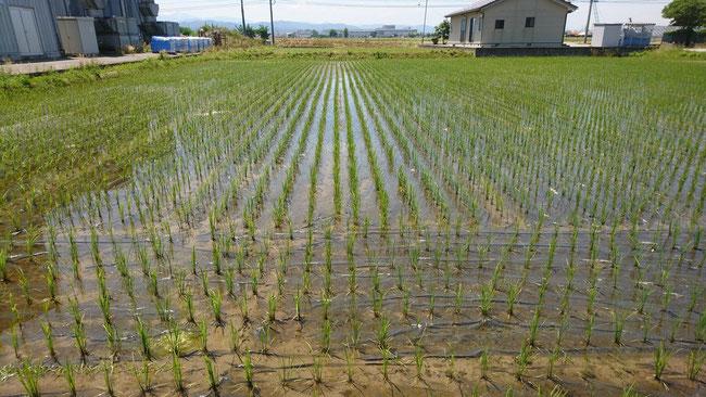 一か月ほどたったころの様子。紙マルチの遮光効果で、除草剤がなくても雑草ゼロ