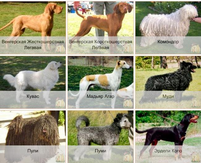 Венгерские породы собак