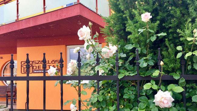 Розы в Венгрии цветут с первых чисел мая. Фото сделано 17 мая 2018 г.