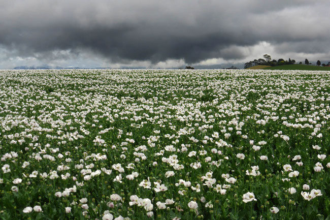 Poppy fields under storm clouds