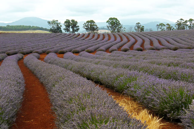 Lavender rows and hills