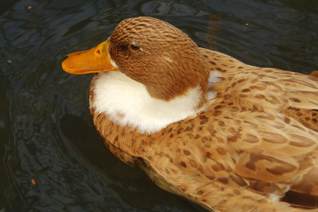 A Punchbowl Reserve duck