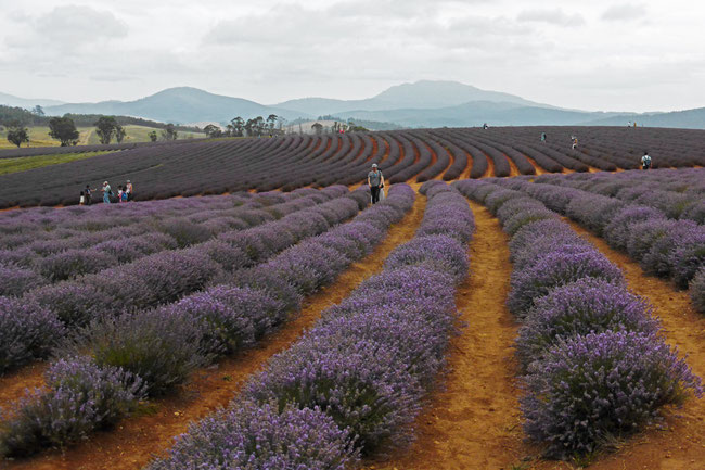 Visitors wandering through the lavender
