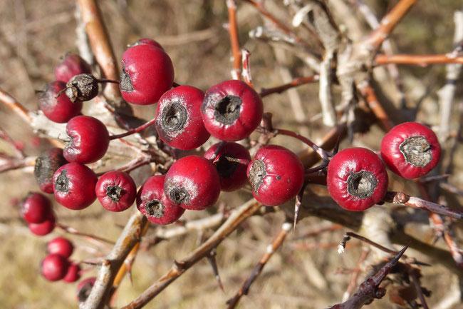 Hawthorn berries