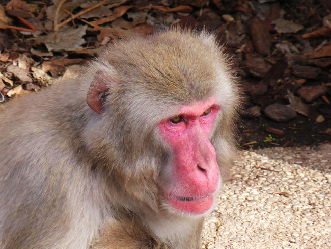 Macaque monkey with a pink face