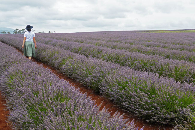 Wandering through the lavender rows