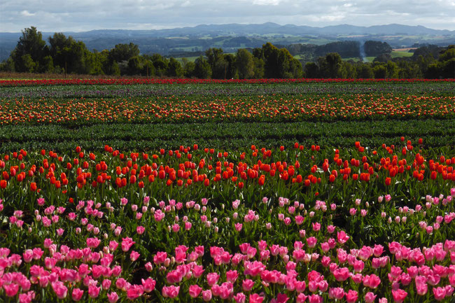 Tulips and hills