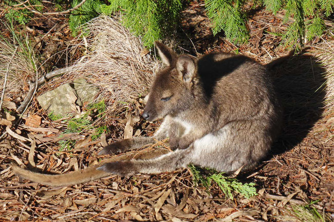A very relaxed Bennett's wallaby