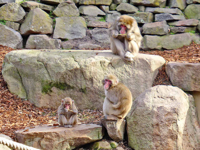 Macaque monkeys in their enclosure