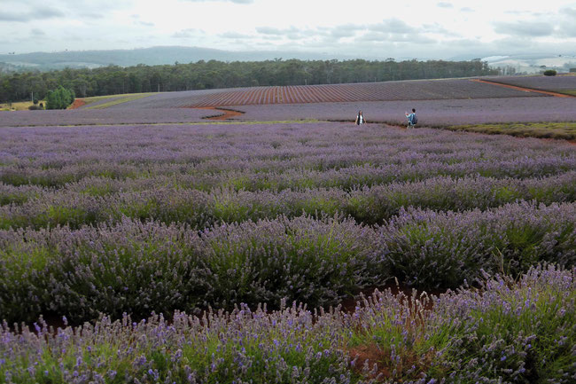 Visitors photographing each other in the lavender