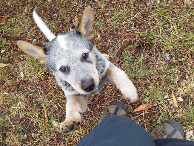 Australian stumpy-tail cattle dog puppy