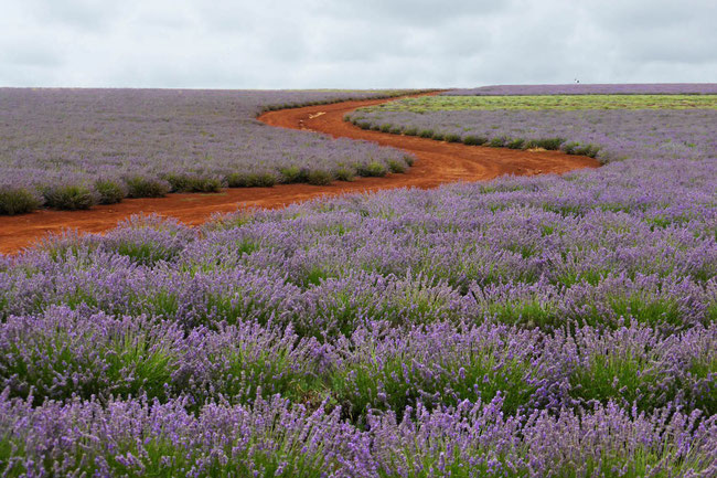 Lavender rows and red soil