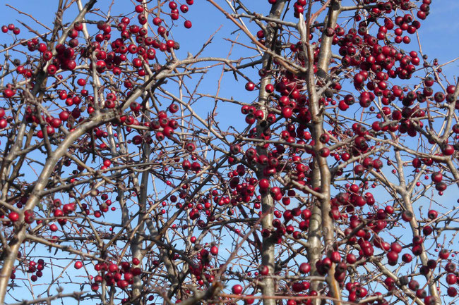 Masses of hawthorn berries