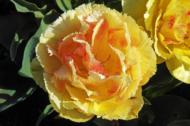 Yellow raggedy tulip flower