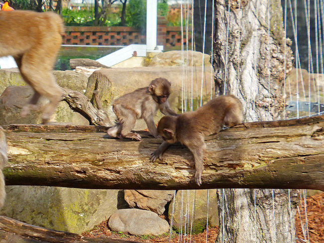 Young macaques playing