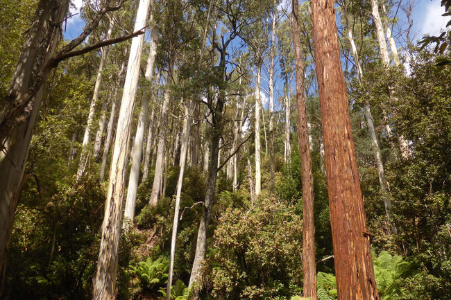White gums and stringy bark gums in the forest