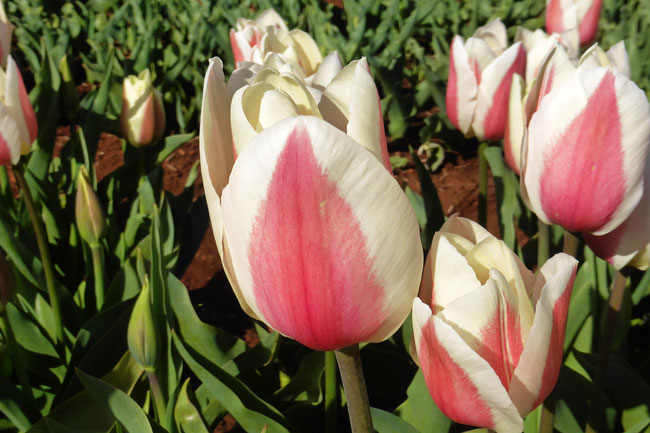Pink and cream tulip flowers