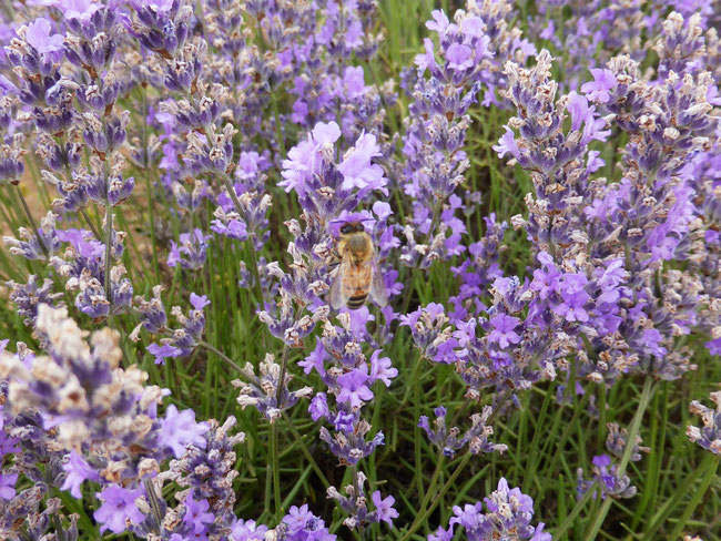 A bee on the lavender flowers