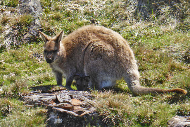 A wallaby with a joey in her pouch