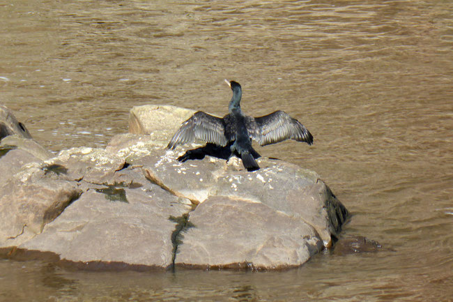 Cormorant on a rock, drying its wings