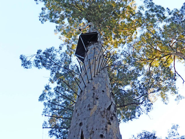 Climbing Rungs on the Dave Evans Bicentennial Tree