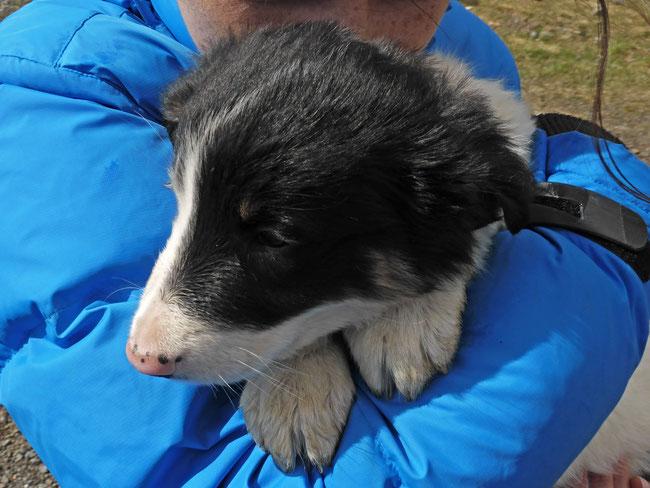 A Geirshlíð Guesthouse border collie puppy