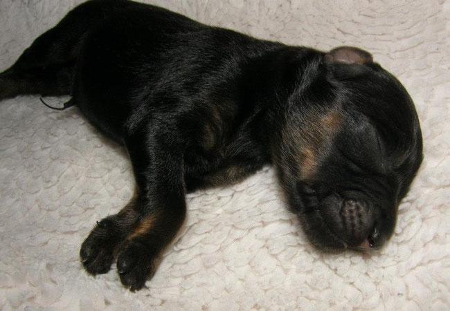 Belle als een prachtig  pasgeboren pupje-  05/09/2012- Belle as a newborn sweet little puppy