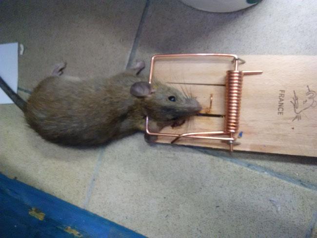 Comment attraper un rat avec une tapette?