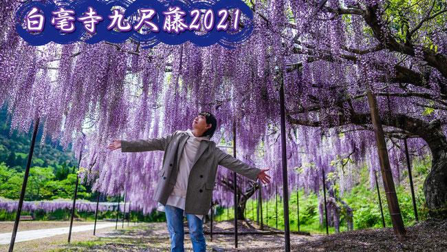 白毫寺 九尺藤 滿開 獻給台灣觀眾的特別公開 2021