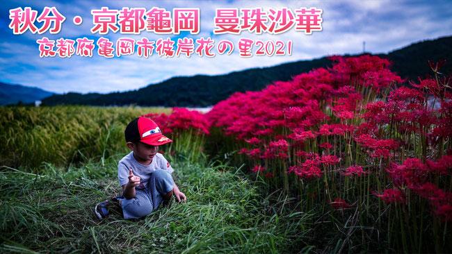 【京都旅遊】 秋分・京都龜岡 曼珠沙華 彼岸花 紅花石蒜 花葉兩不相見