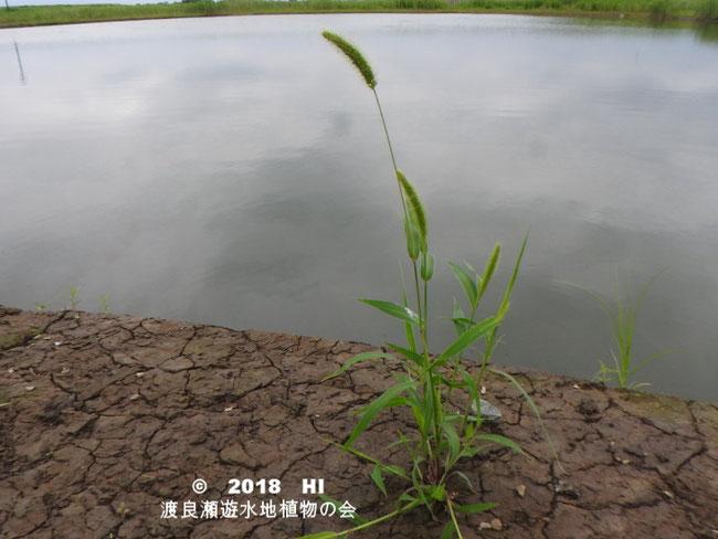 渡良瀬遊水地に生育するエノコログサの全体画像と説明文書