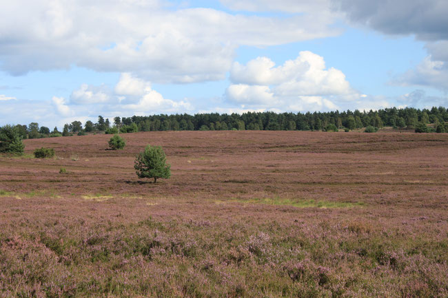 luneburger heide, heath