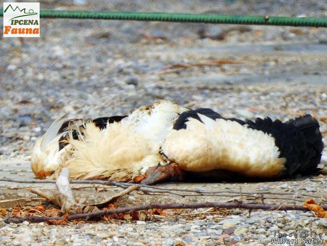Cadàver de la cigonya electrocutada - 03.08.2021