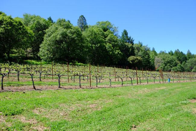 今回アテンドしてくれたはBenさんに 早速、ご自慢のブドウ畑を案内して頂きました。