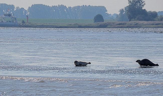 Bild: Seehunde am Strand der Niederelbe