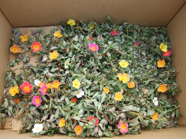 切り戻したポーチェラカを段ボールに入れて捨てたら翌日に花を咲かせていた。すごい生命力!