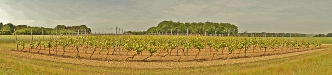 Weinanbau bei Koningsbosch