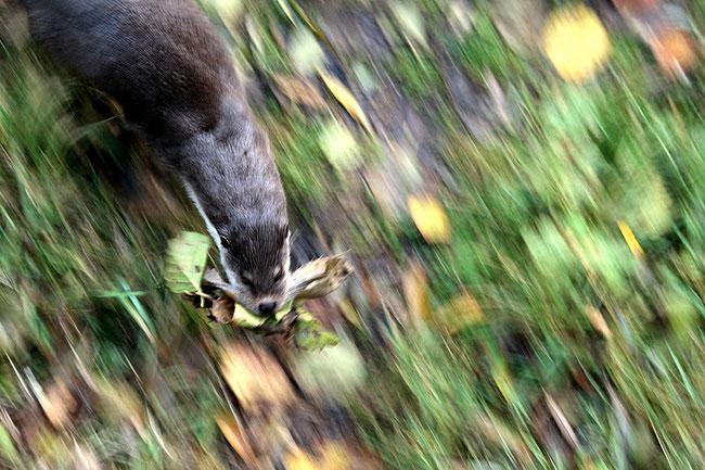 Otter trägt Nestplatzpolsterung ein   Foto: Caterina Ferrari