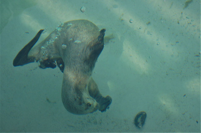 Fischotter taucht nach Muschel im Wasser  Foto: Dr. Hans-Heinrich Krüger