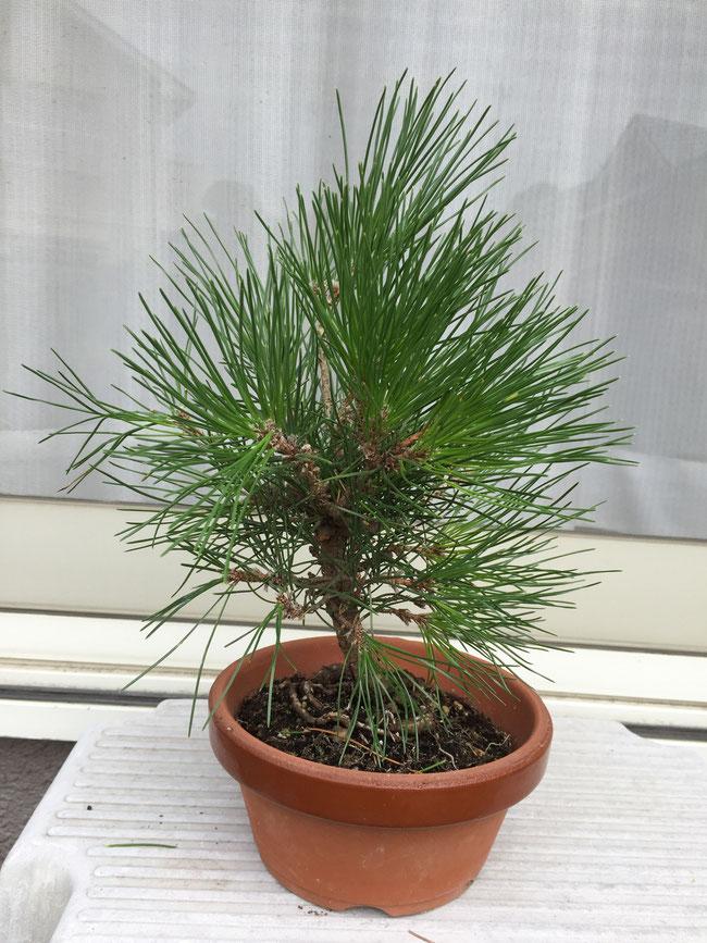 黒松 茶谷順子 種から育てる盆栽
