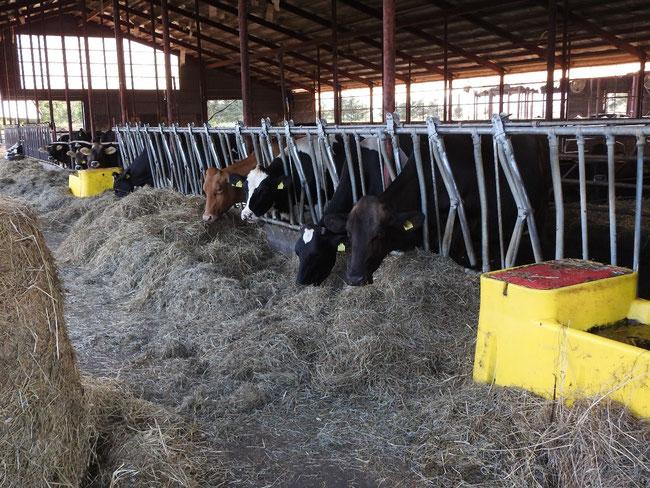 この牛舎のどこかに井上姉妹が幼少期、隠れていたのでしょうか・・