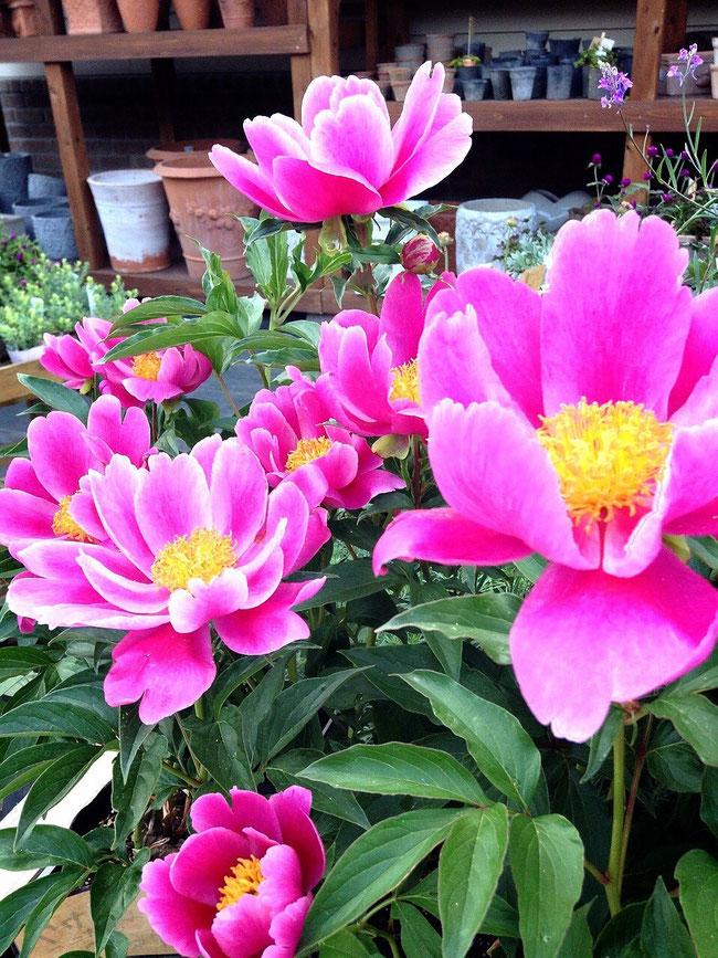 芍薬 (春)