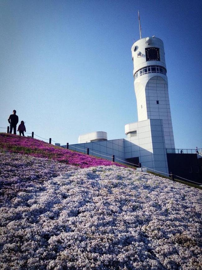 タワー麓に咲く芝桜
