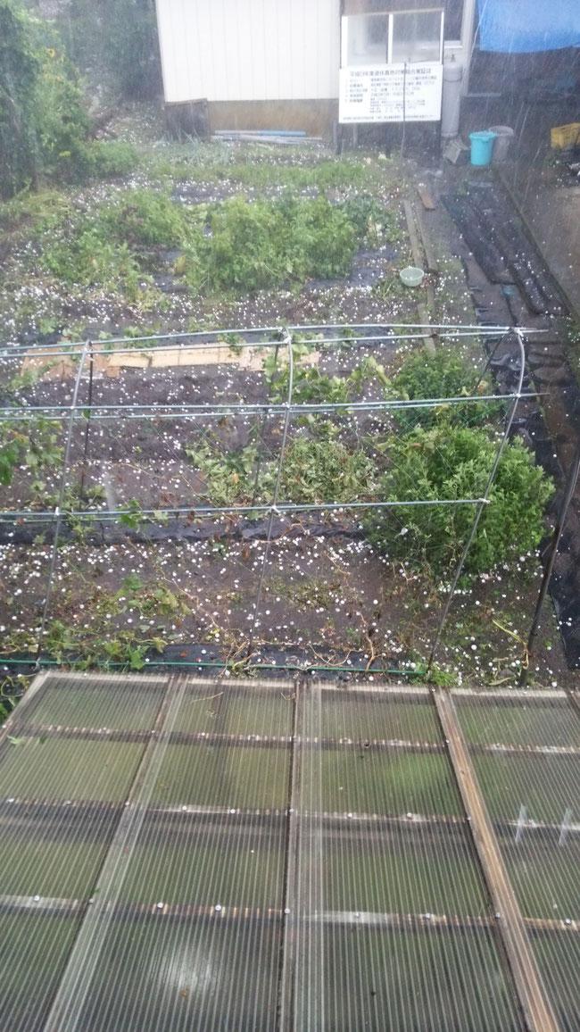 8月22日 降雹 林檎、トマトに被害が出る