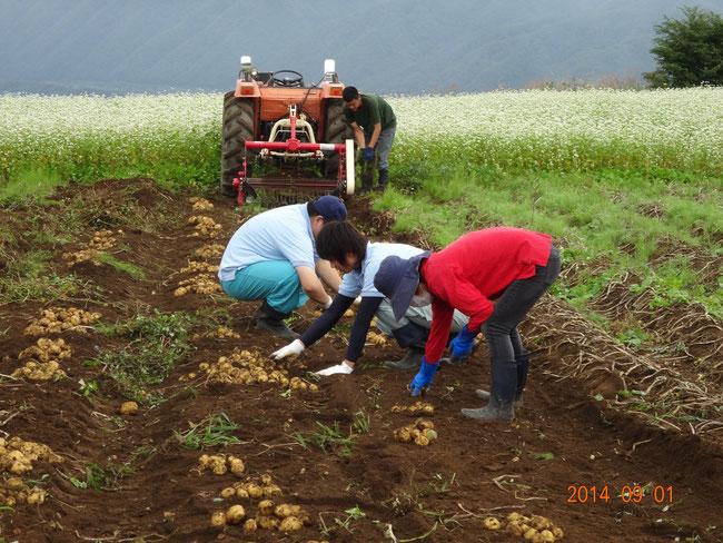 猿楽台地そば畑で馬鈴薯掘り