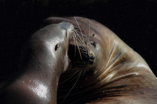Stellerscher Seelöwe... Veröffnentlicht mit freundlicher Genehmigung der Parkleitung des Dolphinarium Harderwijk / Niederlande