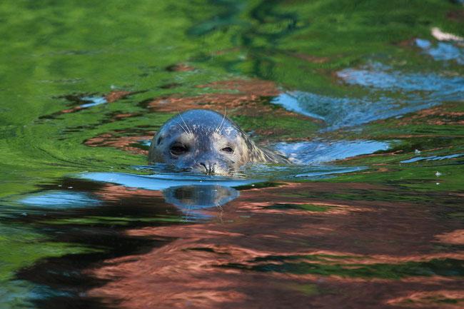 Seehund im Tierpark Kleve